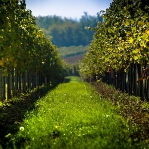 vineyard-998487_1280
