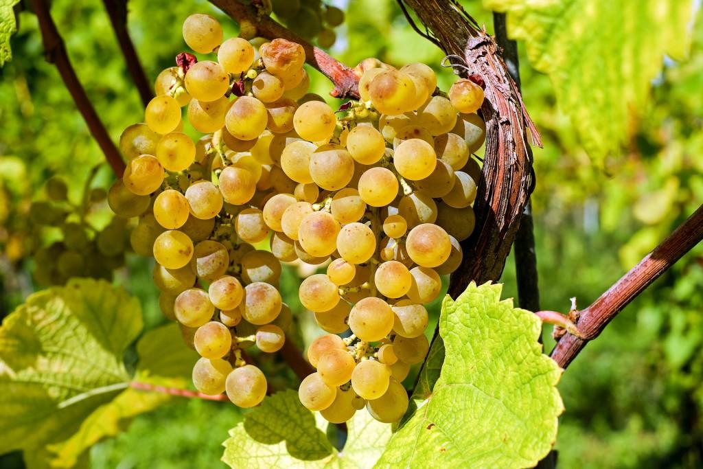 grapes-2715711_1920