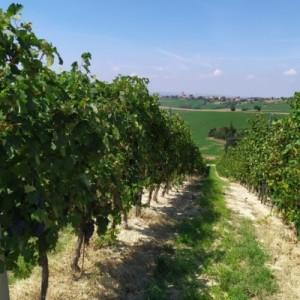 vigne derthona