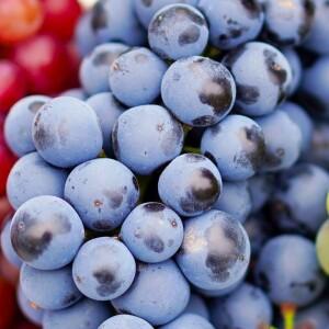grapes-4495944_1920